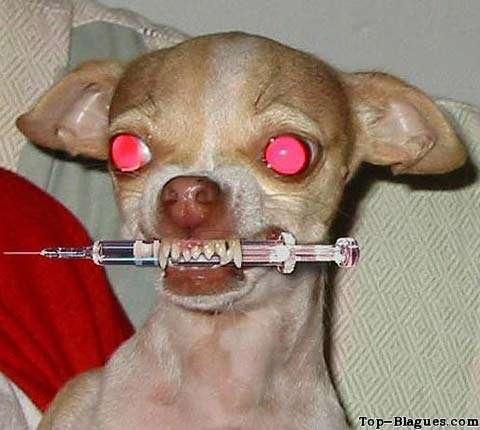 http://led.blog.free.fr/public/KRONIKS/chien_chihuaha_seringue.jpg